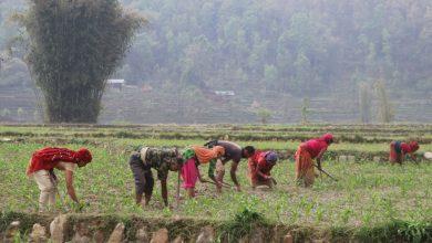 Photo of समाचार प्रभाव : मकै किसानले पाए विषदी