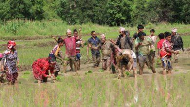 Photo of गुल्मीमा सामुहिक धान रोपेर धान दिवस मनाइयो