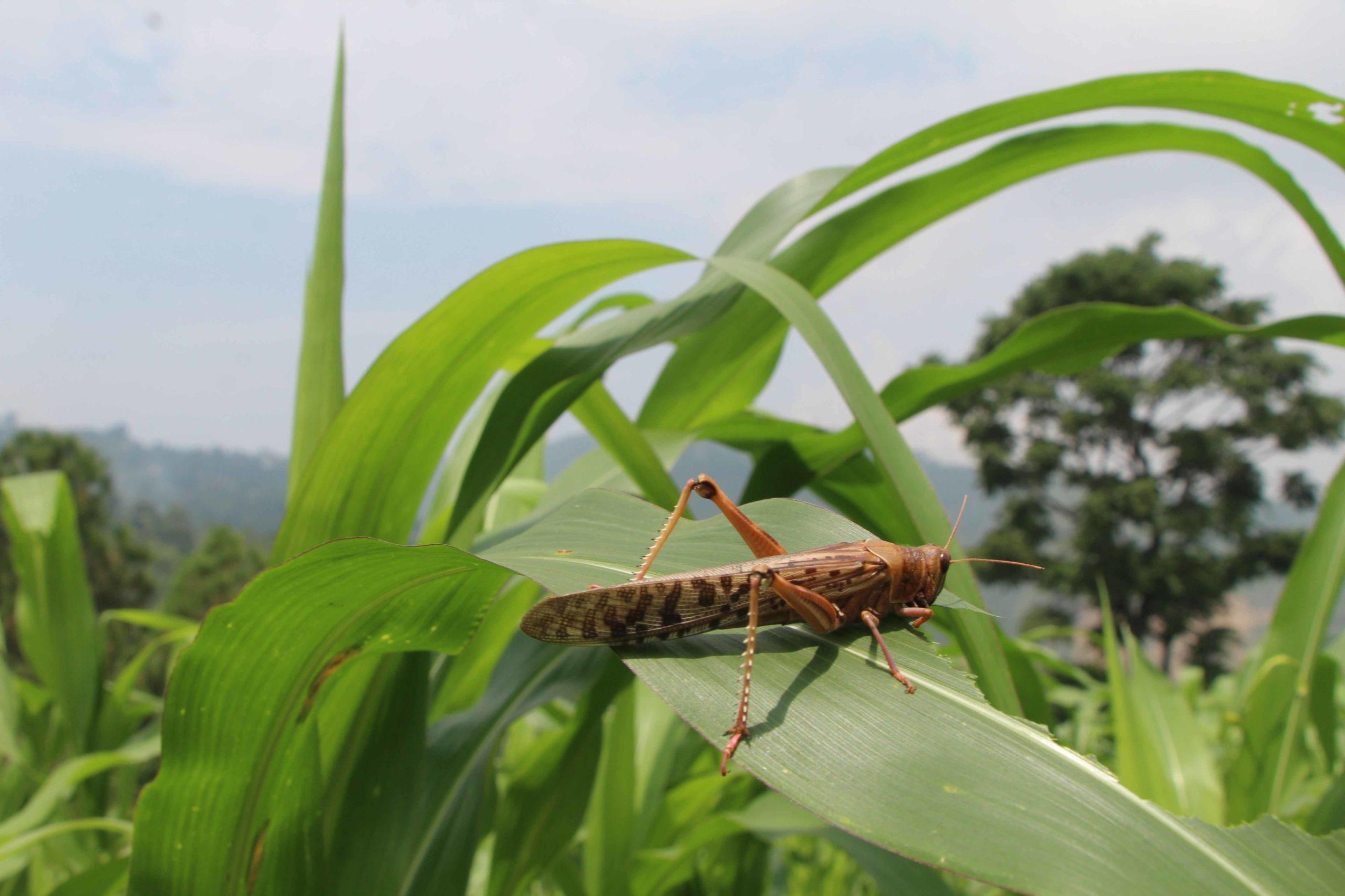 Photo of गुल्मीमा पनि देखियो सलह कीरा, थाल ठटाउदै खेतवारिमा किसान